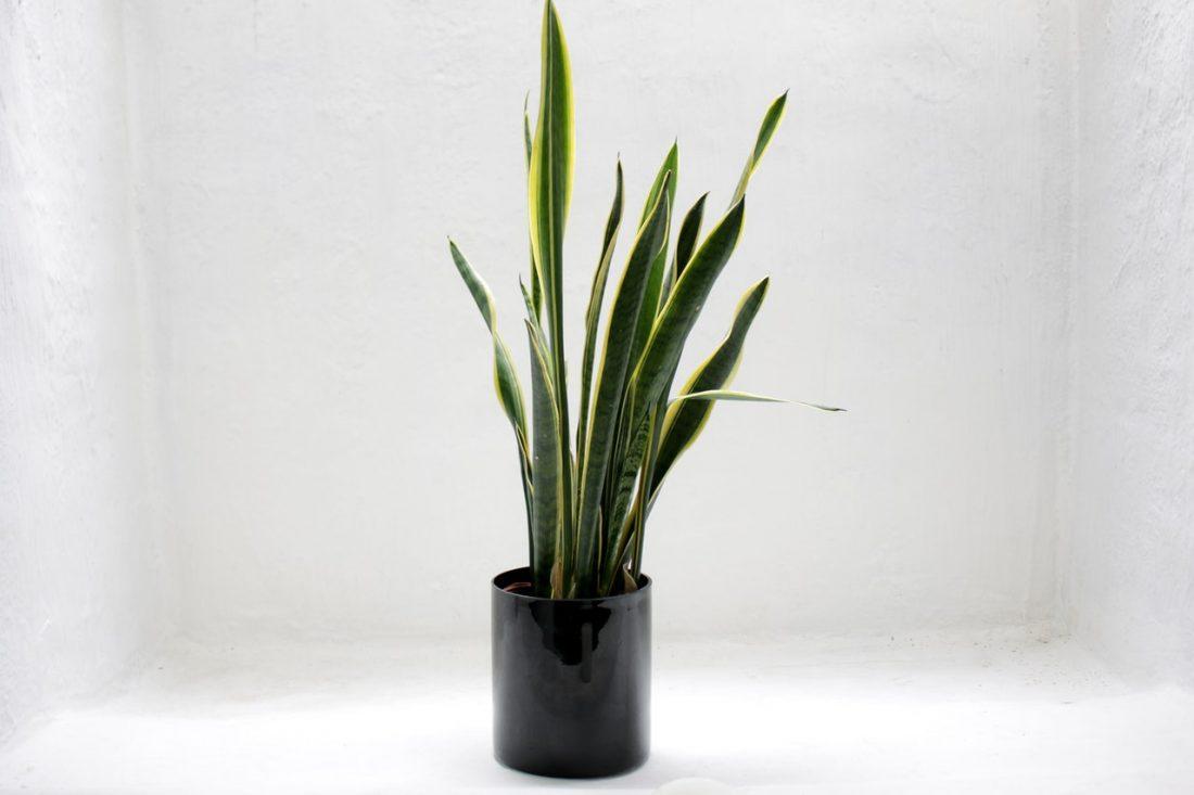 kantoor-planten-sansevieria-freelancerspot